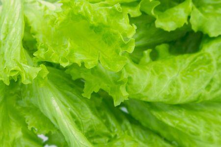 Green Leaf Salad. background, closeup