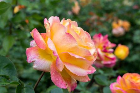Pink and yellow rose on the green background and copy space
