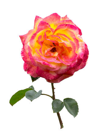 Pink and yllow Rose with stem and leaves Isolated on white background. Stock fotó