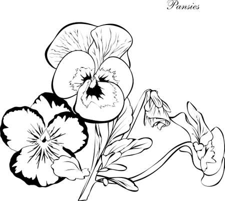 Pansy .hand-drawn.Vector.coloring book