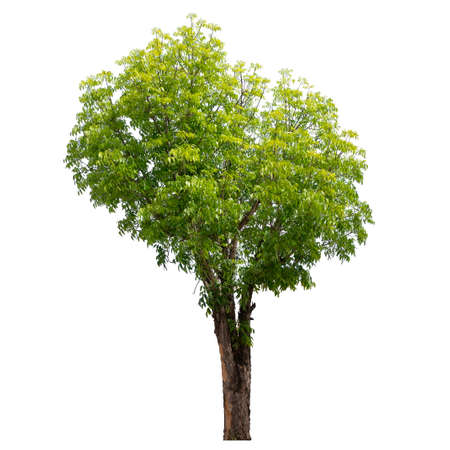 Tree isolated on a white background, Tree for design or decoration work.