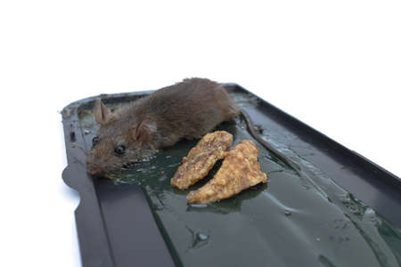 a small rat was caught on the Glue mousetrap isolated on a white background.