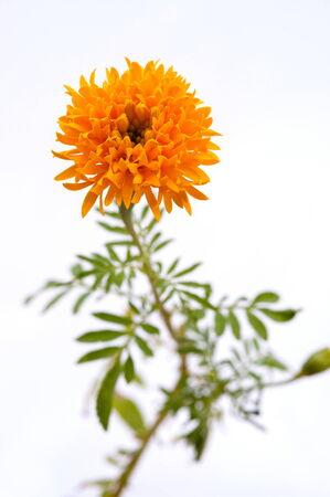 Single marigold  flower isolated on white background  photo