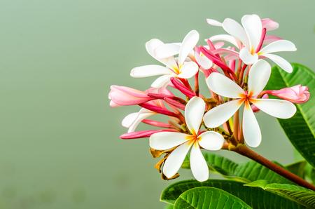 Close up of frangipani flower or Leelawadee flower photo