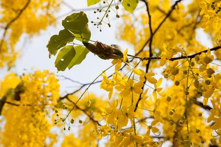 Fabaceae: Yellow flower of Golden shower (Cassia fistula) Stock Photo