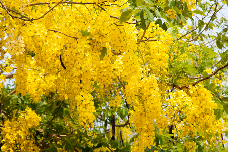 fistula: Yellow flower of Golden shower (Cassia fistula) Stock Photo