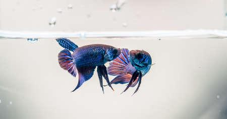 caudal fin: Beautiful fighting fish