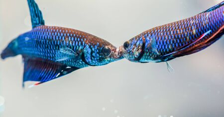 caudal: Beautiful fighting fish
