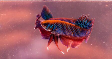 submersion: Beautiful fighting fish