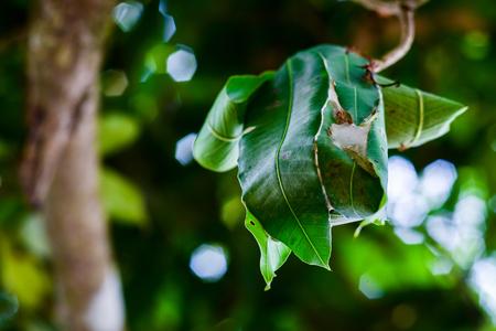 Ant's nest on tree