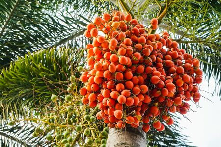 Red betel palm or betel nut on tree with sunlight on nature background.