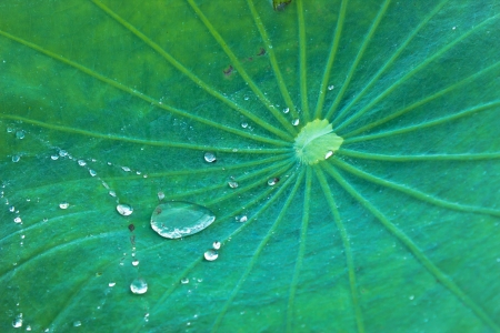 lotus leaf texture with water drop photo
