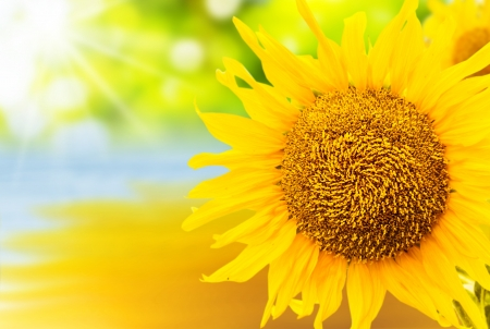 Sunflower With Reflection In Water Background Stock Photo