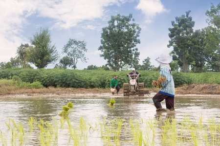 Group Of Thai Farmer Work On Rice Plantation,Dramatic Look