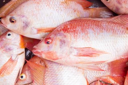 nile tilapia: Tilapia del Nilo O Mango pesce