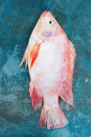 nile tilapia: Tilapia del Nilo o pesce Mango