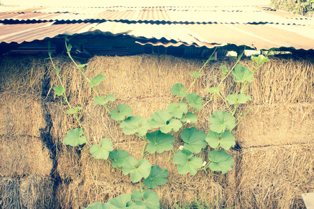 hayrick: Winter Melon Leaf Growing Up to Hay Stack Background