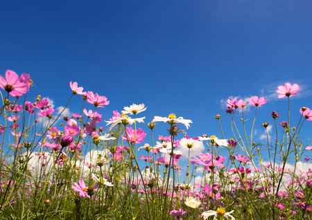 Field of colorful cosmos flowers with blue sky Stock Photo