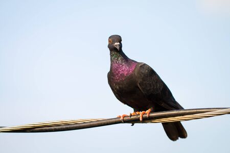 Pigeon or Columba livia The eyes were staring at the camera with red eyes and black body hair, and the neck and hair in purple and green were standing on the cable. The photos are partially clear