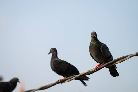 Many Pigeon or Columba livia eyes are staring at the camera with red eyes and black body hair and the neck hair is purple and green standing on the cable. The photos are partially clear