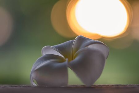 White plumeria flowers Laying on wooden table in the evening time and the sun was going down and there was a faint orange Shines upon the petals of the Plumeria flowers. The image is partially clear.