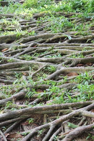 Banyan roots with grass photo