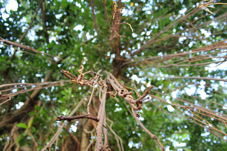 banyan branches photo