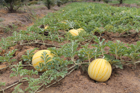 folwer: Yellow watermelons growing in the field