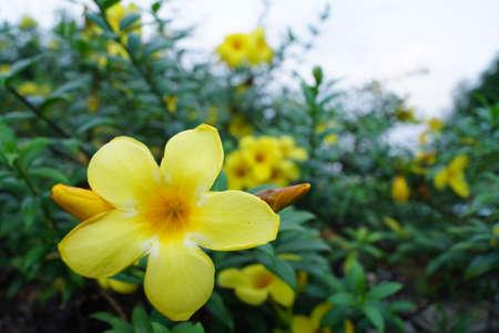 apocynaceae: Pentalinon luteum