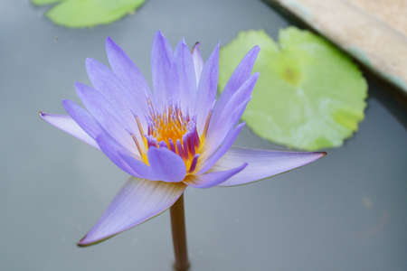 Nymphaea pubescens photo