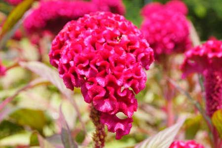 celosia: Celosia argentea Stock Photo