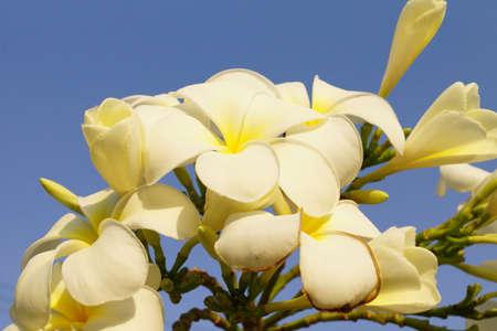 spp: Plumeria spp