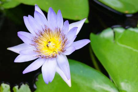lotiform: lotus