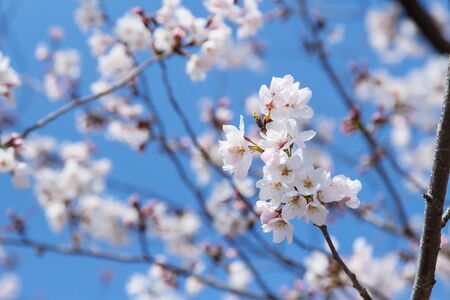 Branch of Sakura flowers or Cherry Blossom with blurred background in Japan Stock Photo