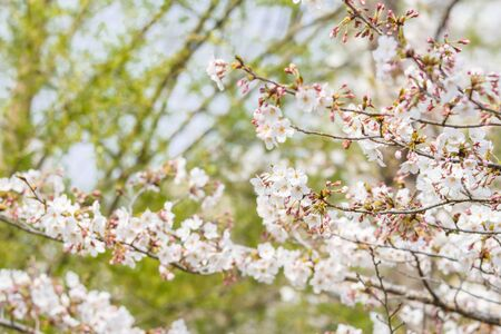Branch of Sakura flowers or Cherry Blossom with blurred background in Japan
