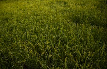 chartreuse: Green farm rice farmers prepare harvest.