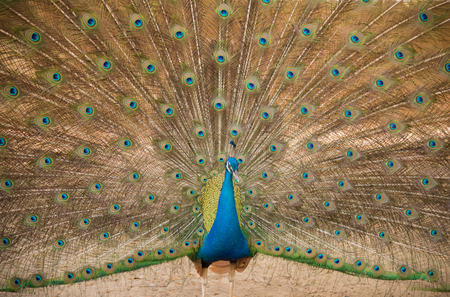 seson: Peacock. Close up of peacock showing its beautiful feathers Stock Photo