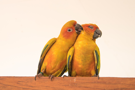 couple yellow Sun conure parrot love and take care of together , lovely parrot , Beautiful parrot.