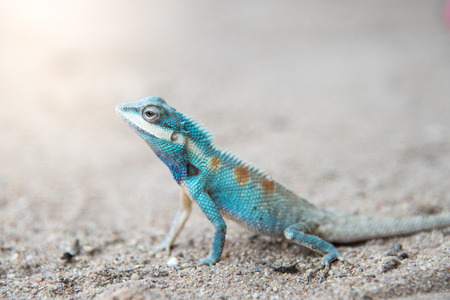 Close up blue  chameleon on Sandy floor Stock Photo