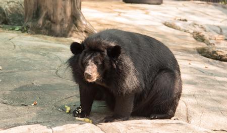 Black bear sitting on the floor. Stock Photo