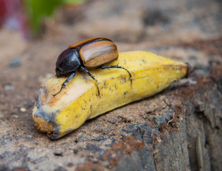 Dynastinae or Xylotrupes Gideon Eat banana (insect) , Rhinoceros beetles, subfamily of the scarab beetle