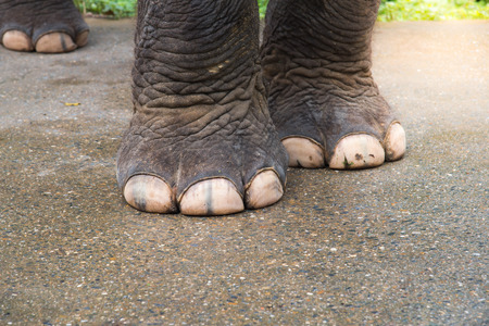 closeup elephant foot , Strong elephant  foot , elephant legs