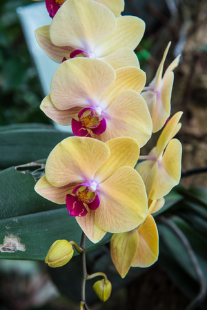 image of a Orchid flower beautiful in tropical garden. Phalaenopsis orchid or Moth orchid.