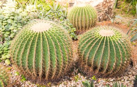 image of golden barrel cactus (echinocactus grusonii)(Echinocactus)