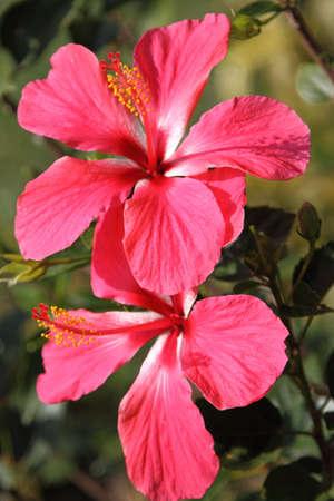 hibiscus flower: hibiscus flower