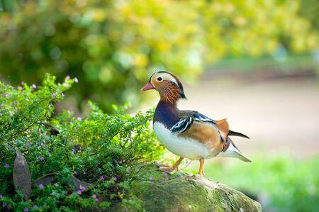 mandarina: Cute and colourful Mandarin duck standing on a rock Stock Photo