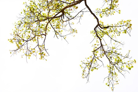 Branches with young leaves of a Bodhi tree in Anuradhapura, Sri Lanka photo