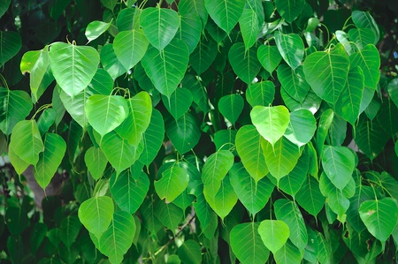 peepal tree: Bodhi leaves on a Bodhi tree, sacred tree for Hindus and Buddhist Stock Photo