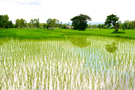 planted: Rice field with new rice planted in Sakon Nakhon, Thailand
