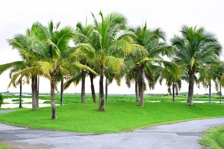 nakhon: Field of coconut trees near Nong Han Lake, Sakon Nakhon, Thailand